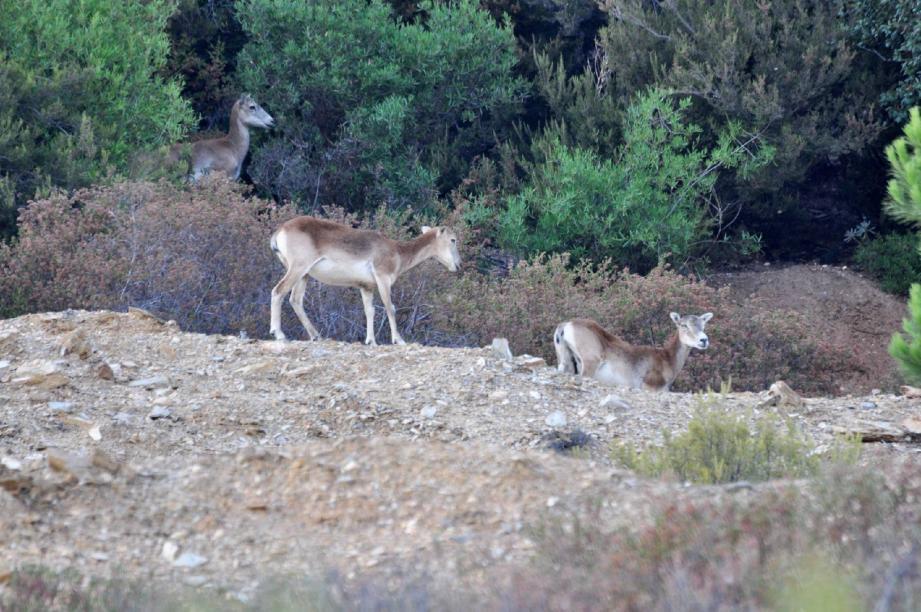 Quelques mouflons rescapés ont regagné le domaine et les abords du barrage où ils vont boire. Roland Lacour, gardien du massif contre les incendies et les atteintes à l'environnement depuis 60 ans, ne comprend pas cette décision.