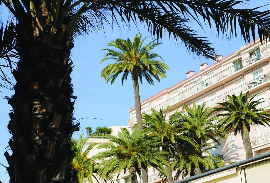 Les palmiers risquent une destruction massive par un simple insecte : le charançon rouge. L'invasion gagne Cannes de plus en plus.La ville sonne l'alarme.