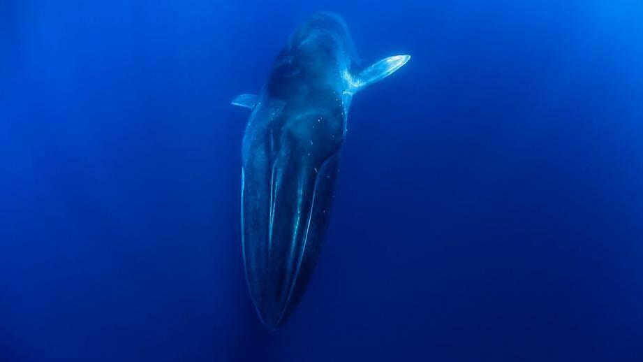 Les deux réalisateurs Jerome Espla et Eric de Keyser ont filmé de mai à octobre 2012 les mammifères marins - comme ce rorqual - entre Monaco et Cannes.