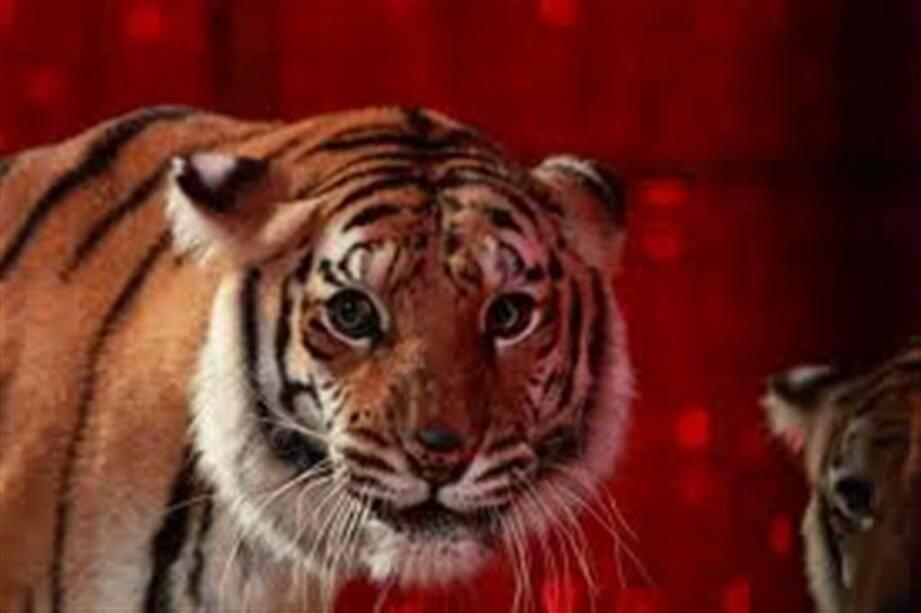Les tigres majestueux du Cirque de Saint-Pétersbourg et la lionne blanche seront présents à Cannes