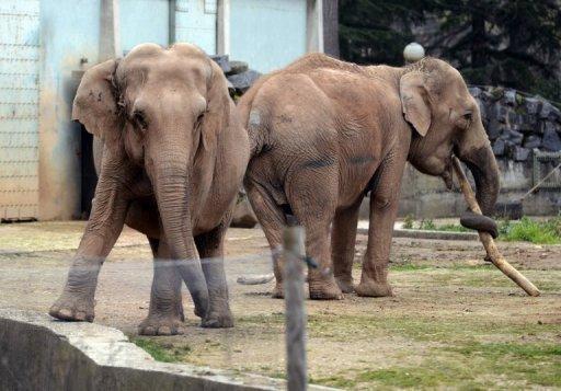 """Les deux éléphantes menacées d'euthanasie, au zoo du Parc de la Tête d'Or, à Lyon le 6 janvier 2013 - Photo de Philippe Desmazes - AFP © 2013 AFP<a href=""""# """" rel=""""popup_name"""" class=""""poplight""""><img src=""""http://www.air-cosmos.com/img/1-1377-9999x22-0/logo-afp.jpg"""" alt=""""afp logo"""" title=""""afp logo""""  style=""""height:16px; width:37px; border:none; display: inline; margin-left: 5px; vertical-align:middle;"""" /></a>"""