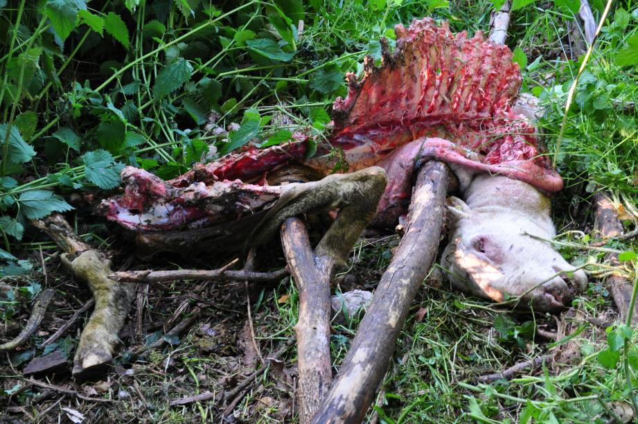Les restes d'un bouc après le passage des loups.