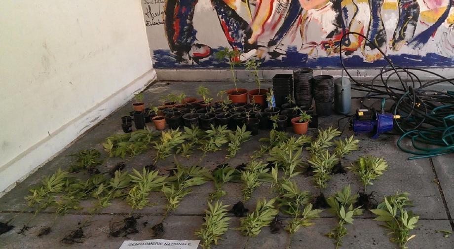 Les 80 pieds de cannabis saisis par la gendarmerie étaient susceptibles de produire plus de 4 kg de beuh. Ce qui représente plus de 30 000 euros.(DR)