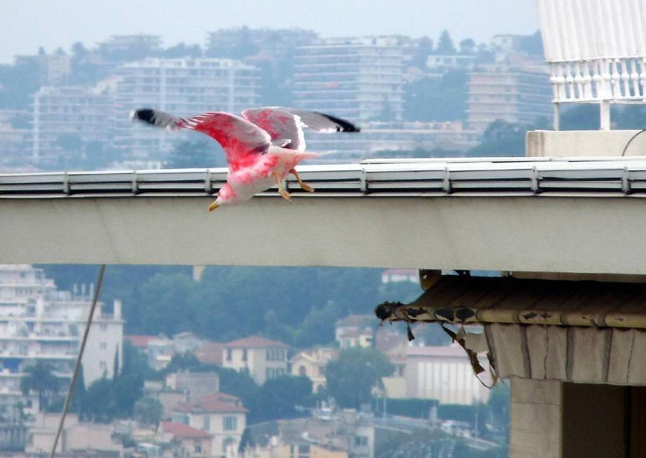Planant régulièrement au-dessus des immeubles de l'avenue Villebois-Mareuil, ce goéland tout rose intrigue le quartier. Après enquête, cet oiseau protégé a été victime de mauvais traitement.