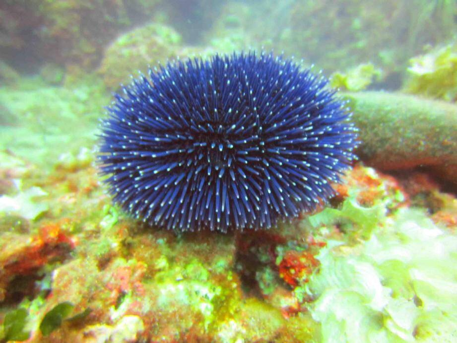 Un oursin bleuté dans les fonds sous-marins monégasques.(DR)