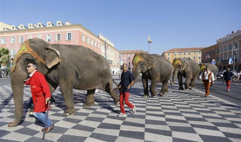 Les quatre éléphants du cirque Arlette-Gruss ont traversé la place Masséna sans encombre, jeudi matin.