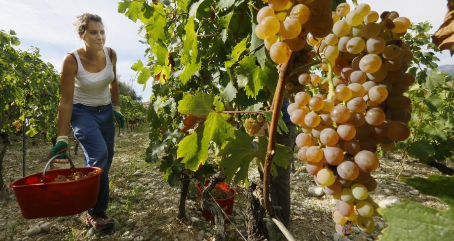 Chemin de Saquier, sur le domaine du Château de Bellet, une dizaine de vendangeurs sont en action. Pour cueillir à la main les grappes de raisins blancs, mûrs à souhait.