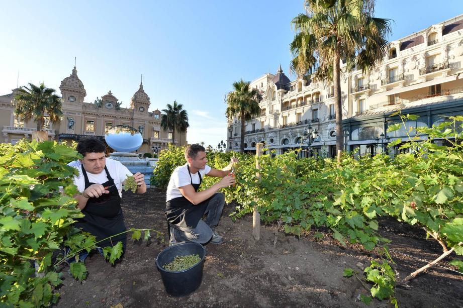 Image inédite hier matin, devant le Casino et l'hôtel de Paris… la première vendange de Monte-Carlo.