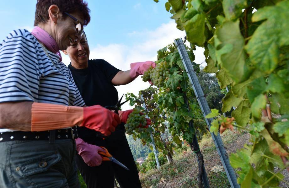 Avec un plaisir chaque année renouvelé, les membres de la confrérie de l'Étiquette font les vendanges du raisin qui donnera naissance au vin qu'ils dégusteront dans quelques mois. La production, confidentielle, leur est destinée.
