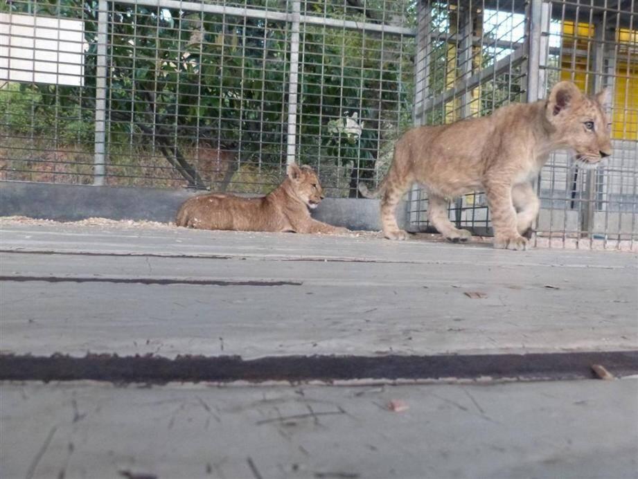 Deux lionceaux du cirque Muller enlevés à Draguignan