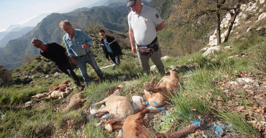La hausse des attaques imputées aux loups provoque l'exaspération des éleveurs.