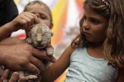 Les bébés tigres peuvent encore être pris dans les bras par les enfants. Dans quelques mois ce sera plus délicat...