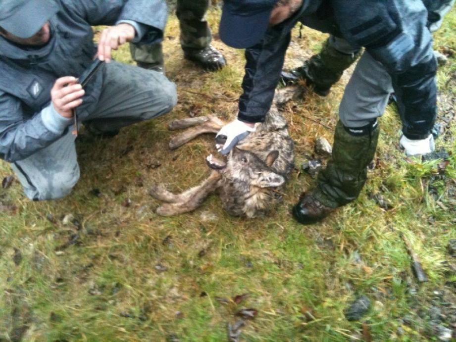 Outre des chasseurs et des gardes chasse, de nombreux villageois se sont rassemblés autour du cadavre de cette jeune louve.