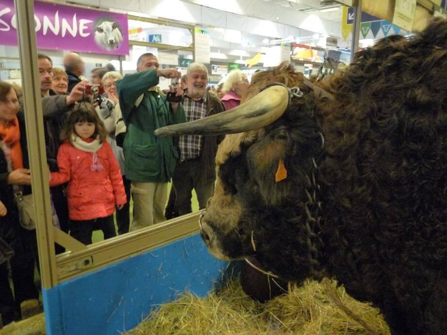 Au salon, les (gros) animaux remportent tous les suffrages, comme « Tambour », ce taureau de 1 075 kilos.