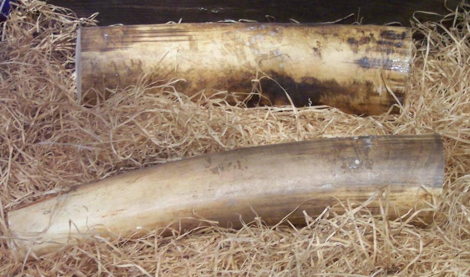 Des défenses en ivoire