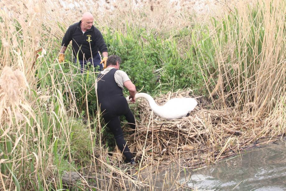 Sauvetage du nid de cygnes et des 5 oeufs, menacé par la montée des eaux du Var