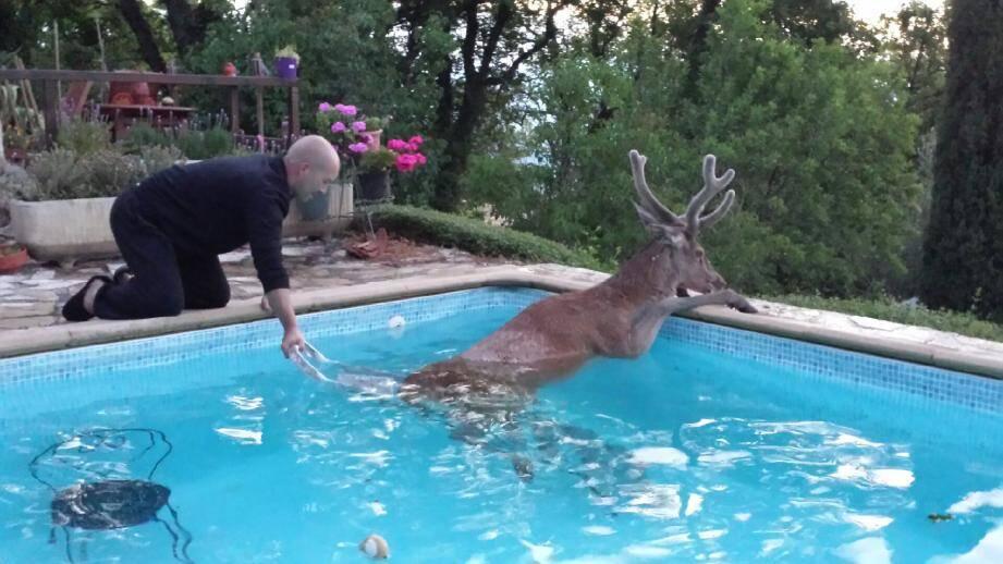 Sylvain Monchablon porte secours à un cerf tombé dans sa piscine. L'animal finira par s'extraire et repartira dans la nature quelques minutes plus tard.
