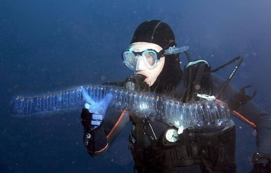 Rencontre du troisième type avec un organisme gélatineux : une colonie de salpes «Pegea» dans le bleu de la Méditerranée.