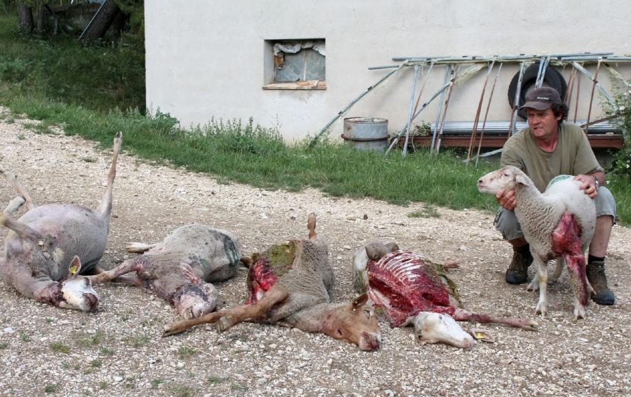 De quoi hurler de rage pour ce berger qui est loin d'être un cas isolé dans le secteur du Verdon. Les attaques se produisent de plus en plus près des zones habitées.