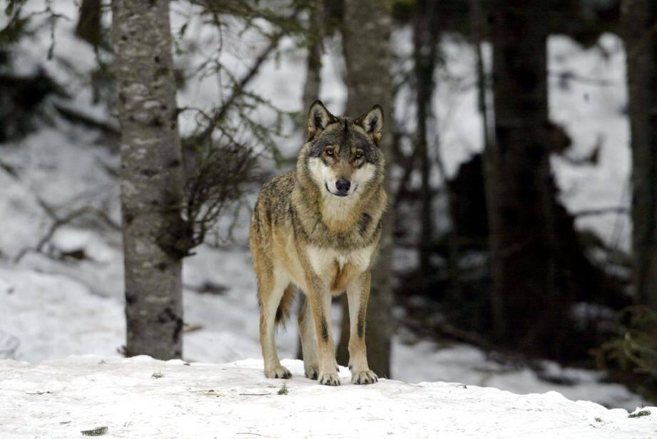 « Les chiens Patou, les parcages et même la présence humaine ne servent plus à rien. Les meutes de loups se sont adaptées » , estime le président de la Fédération départementale ovine, Jacques Courron.