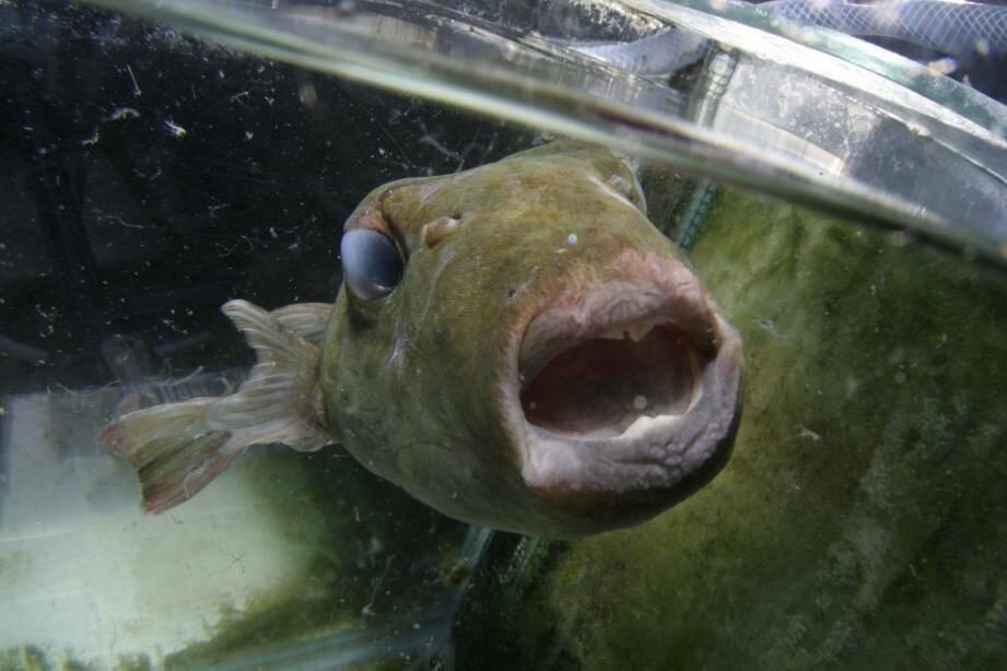 Dans un bac de Marineland, à Villeneuve-Loubet, le sphoeroides pachygaster pêché à Antibes reprend des forces avant d'être confié au Musée océanographique de Monaco.