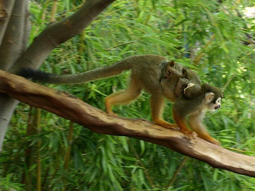 Un singe écureuil est né au zoo de La Londe
