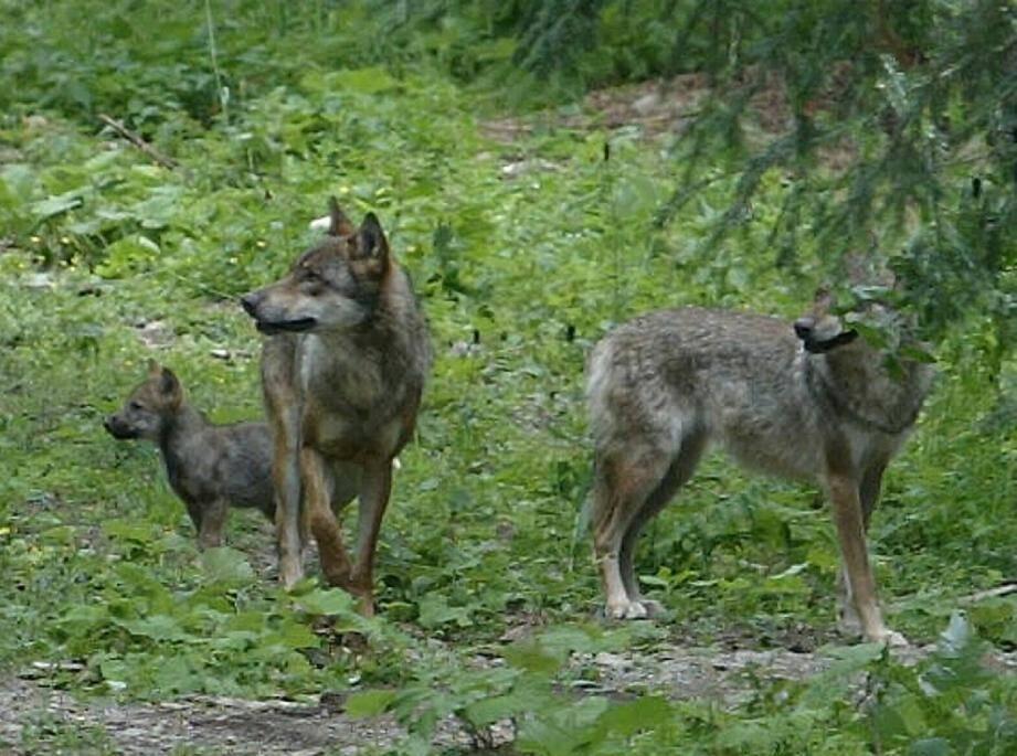 Les éleveurs sont convaincus que le cap des 10.000 brebis ruées par le loup a été franchi.