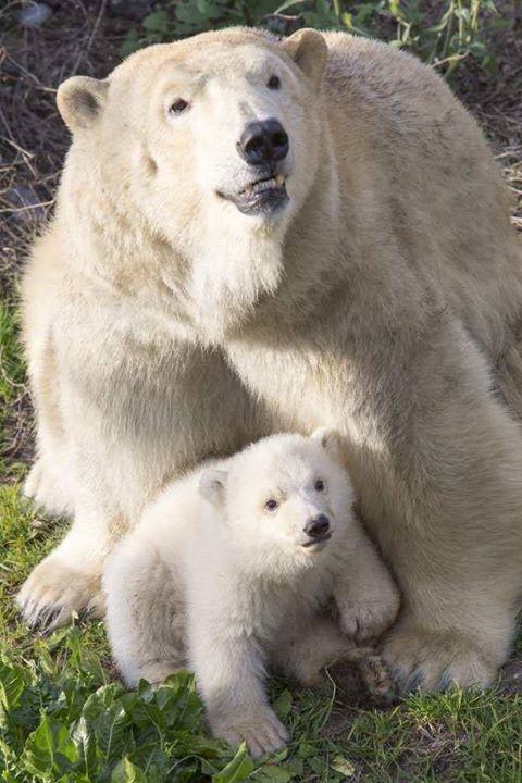 Le bébé ours polaire et sa maman
