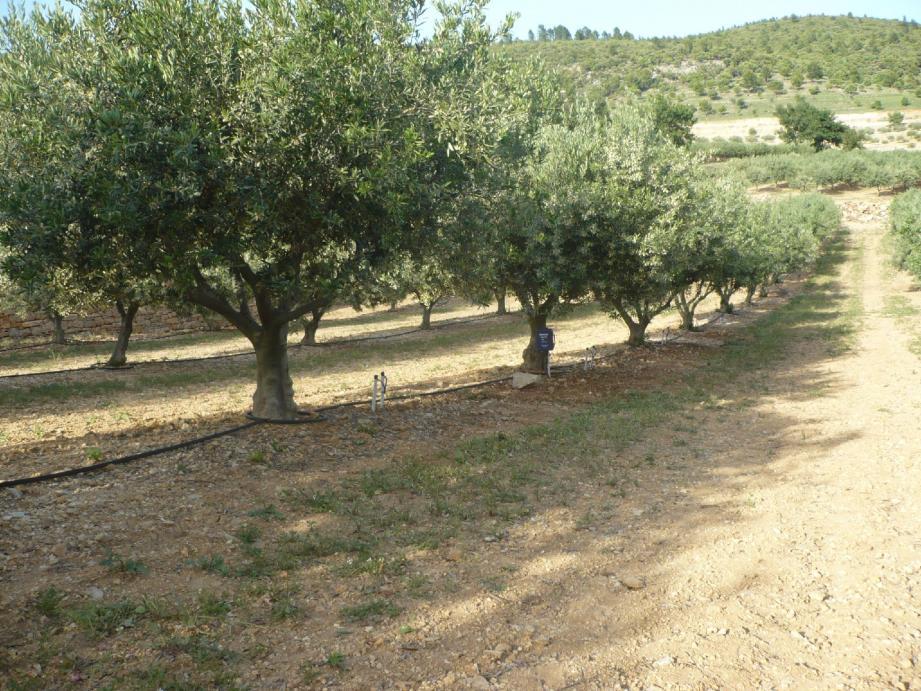 Inquiet, un oléiculteur des environs de Nice a appelé vendredi matin la chambre d'agriculture pour signaler que des oliviers en pot, achetés quelques mois plus tôt en Italie, dépérissaient de manière anormale.