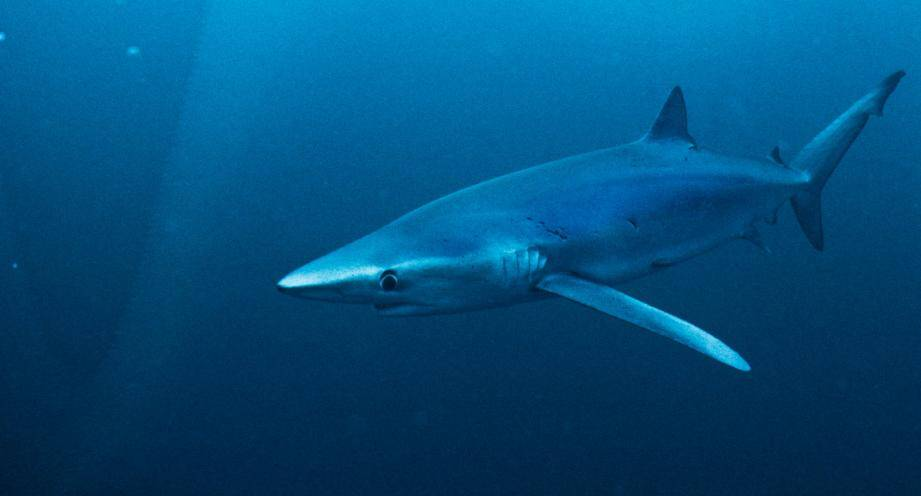 Un requin (image d'illustration).
