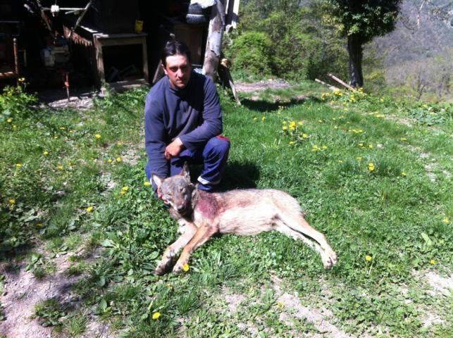 Jean-Michel Citron, berger de Peira Cava, a tiré sur le loup alors qu'il s'apprêtait à attaquer son troupeau.