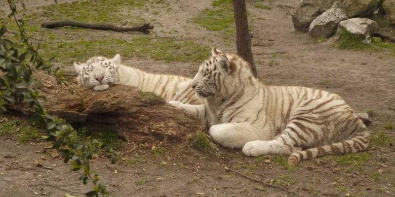 Un tigre du Bengale au zoo de Pessac, en juillet 2008.