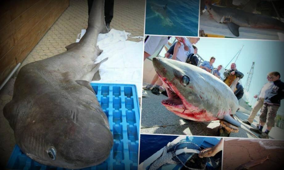 mosaique requins littoral var 150227