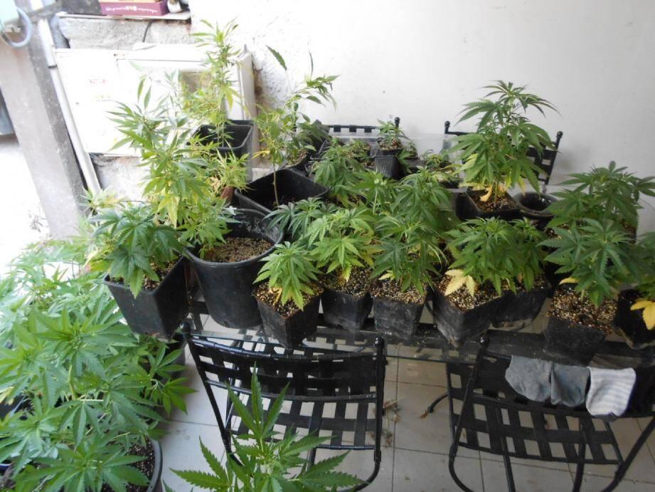 Cent seize pieds de cannabis ont été retrouvés à Ollioules dans l'appartement d'un homme de 36 ans.