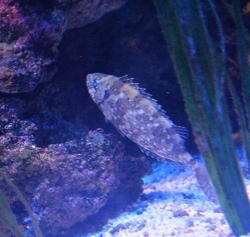 Comme ce poisson lapin, de nombreuses espèces sont mortelles en Méditerranée.
