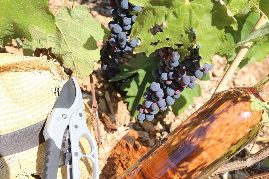 Les raisins sont sains et presque prêts à être ramassés.