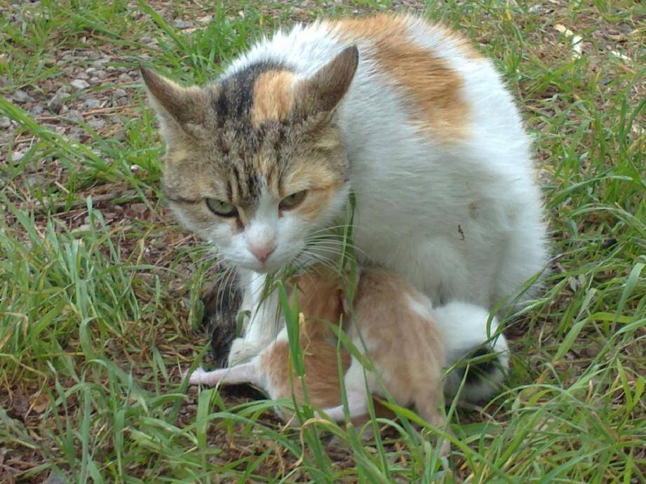 Une chatte a des portées de quatre à huit chatons... quatre fois par an! Raison pour laquelle une campagne de stérilisation est lancée, à Cagnes.