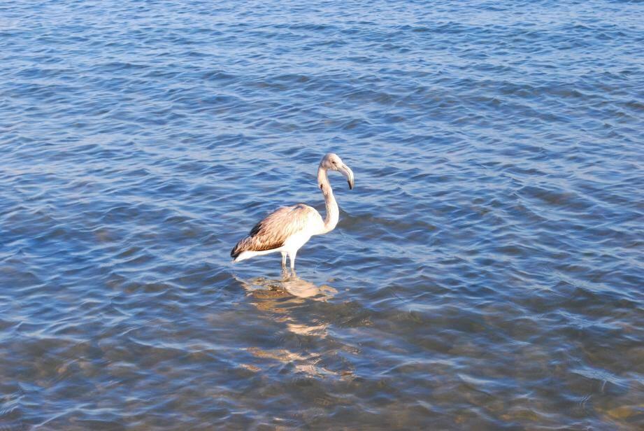Le jeune flamant rose sur le bord de mer à la Favière.