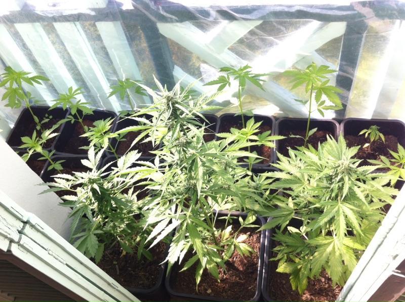 Des plants de cannabis (Image d'illustration).