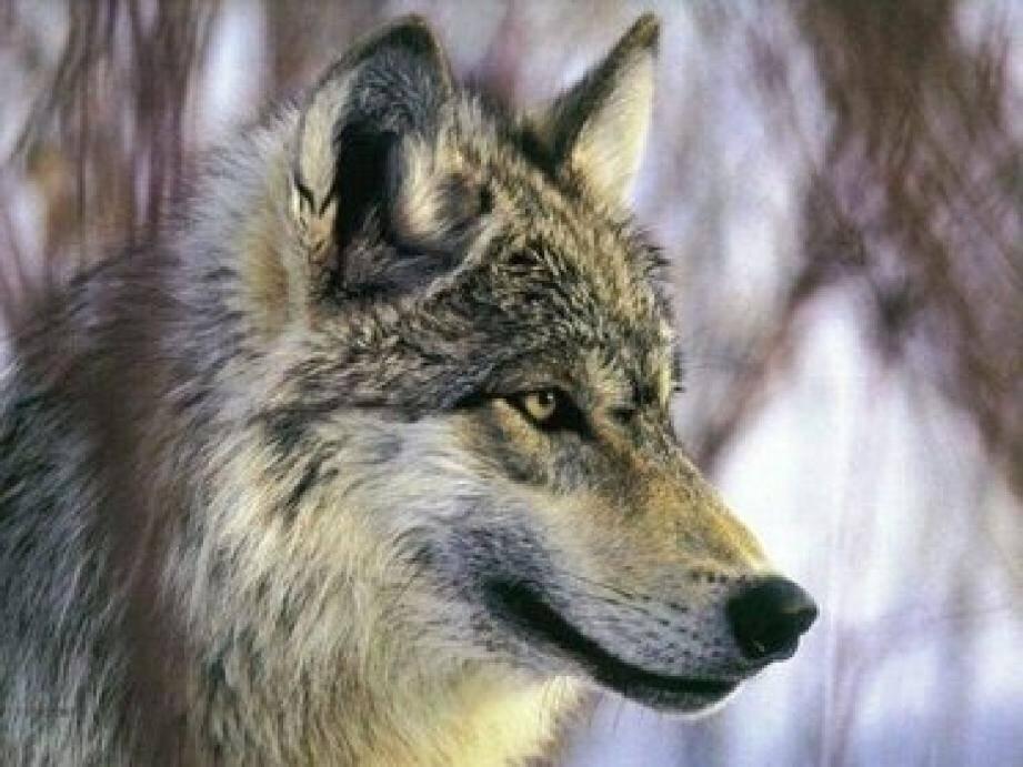 Illustration loups