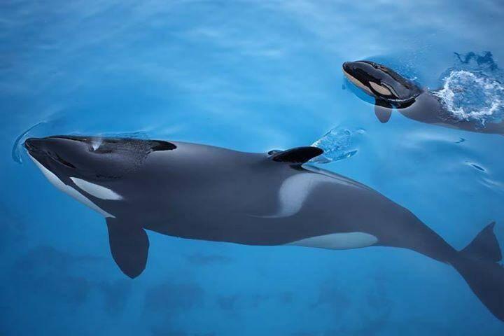 Illustration d'orques à Marineland