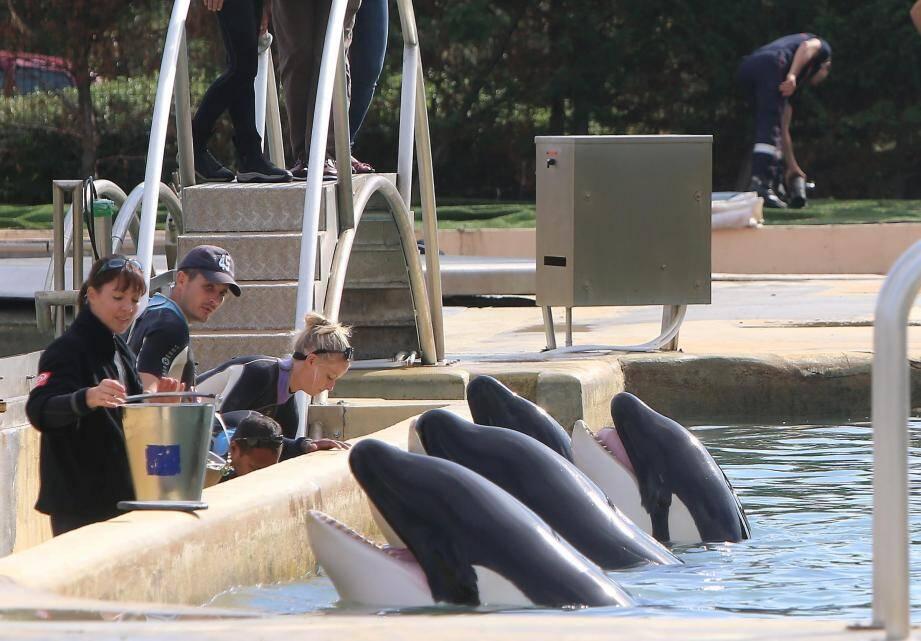 Les quatre orques dans un bassin à Marineland.