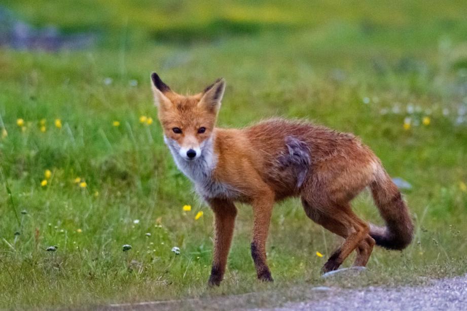 Un renard  (image d'illustration).