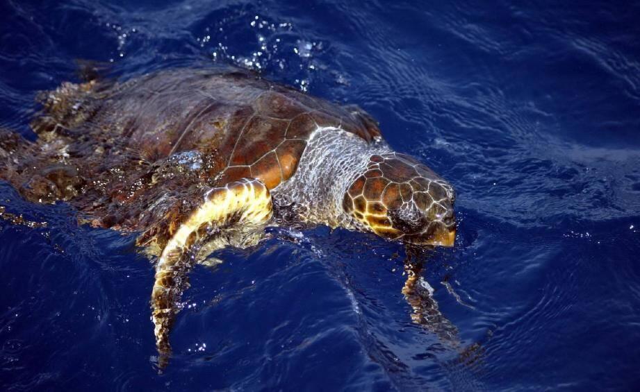 Illustration de tortue caouanne