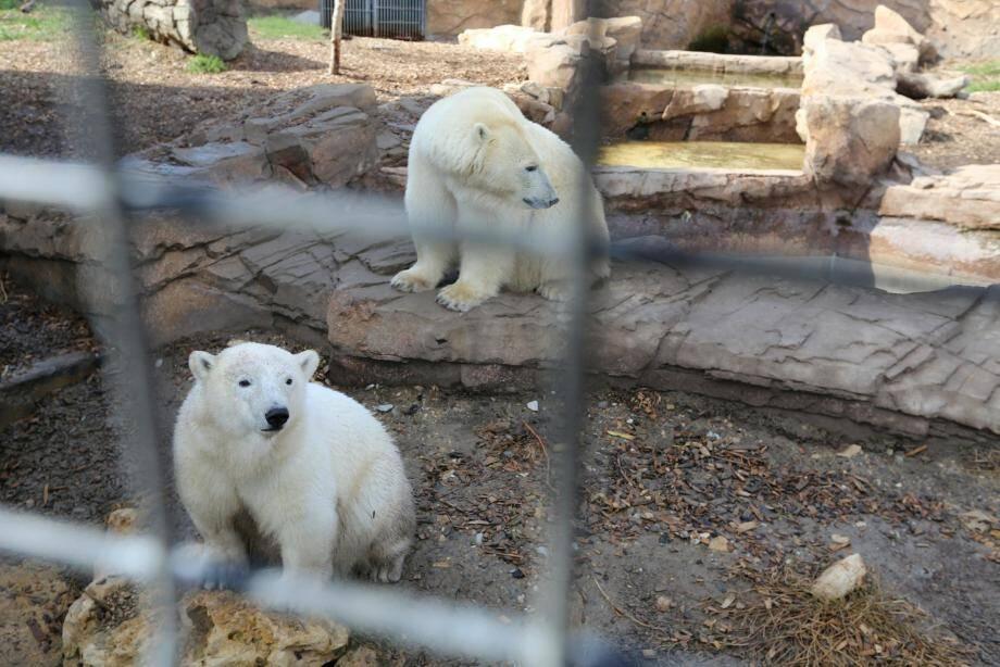 Raspoutine et Flocke, les deux ours polaires du Marineland d'Antibes.