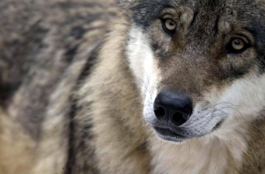 Trente-six loups pourront être tués en France d'ici juin 2016.