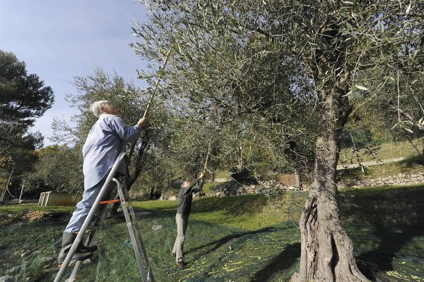 La cueillette des olives à l'Altitude 500.