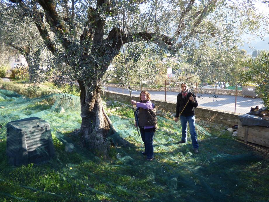 Luc et Clarisse dans les oliviers de Jauffret : la récolte a commencé. Les titulaires des trente-cinq parcelles et tous les autres sont invités à la grande journée de récolte de samedi à la villa Jeoffret, place des Plans.