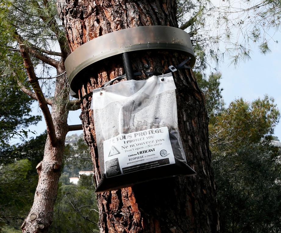 Prélèvement sur le tronc du pin avec un « Ecopiège » (ci-dessus), piégeage phéromonal, épandage par voie terrestre… Les  autorités combineront les mesures pour freiner le phénomène.