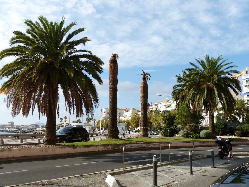 Les palmiers de l'agglomération est-varoise sont la cible des charançons.